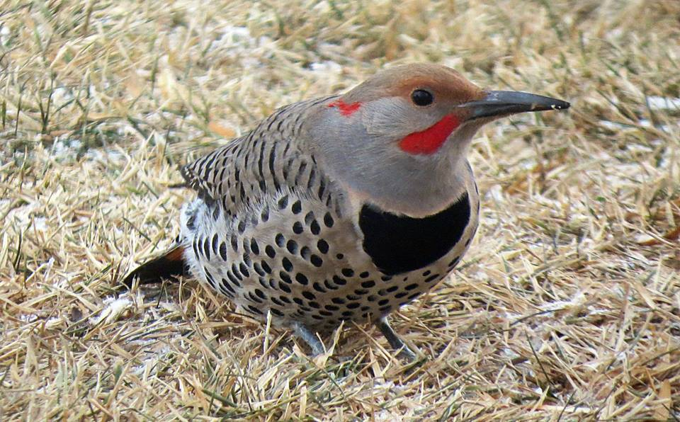 Northern Flicker (123K)